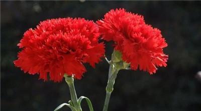 红色康乃馨花语是什么?红色康乃馨有哪些寓意?