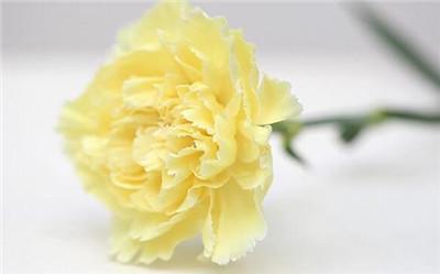 黄康乃馨花语是什么?黄康乃馨有什么寓意