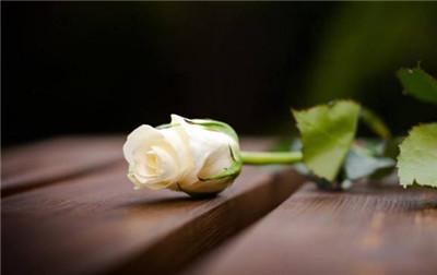 白玫瑰花语是什么?白玫瑰的寓意有哪些?