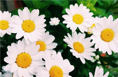 雏菊花语是什么?