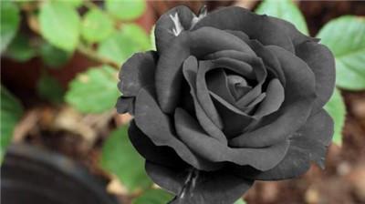 黑玫瑰花语是什么?黑玫瑰的寓意是什么?