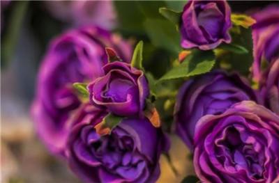 紫玫瑰花语是什么,紫玫瑰有哪些传说?