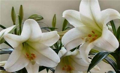 百合花的花语是什么?不同颜色的百合花花语是什么?