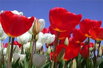 郁金香花语是什么,不同颜色郁金香花语分别是什么