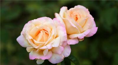 香槟玫瑰花语是什么?香槟玫瑰适合送什么人