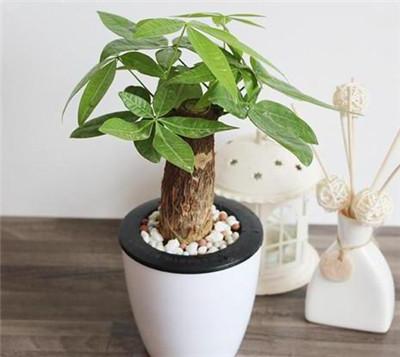 发财树的花语是什么?发财树的寓意有哪些?