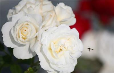 白色玫瑰花的花语