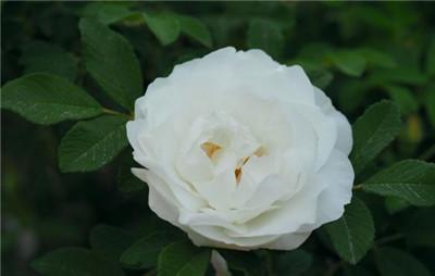 21朵白玫瑰的花语