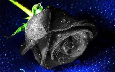 黑玫瑰的花语